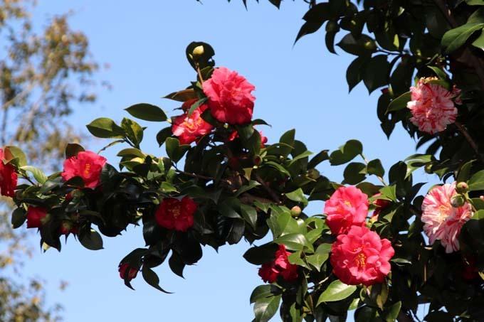 椿も盛りです 城南宮_e0048413_17564179.jpg