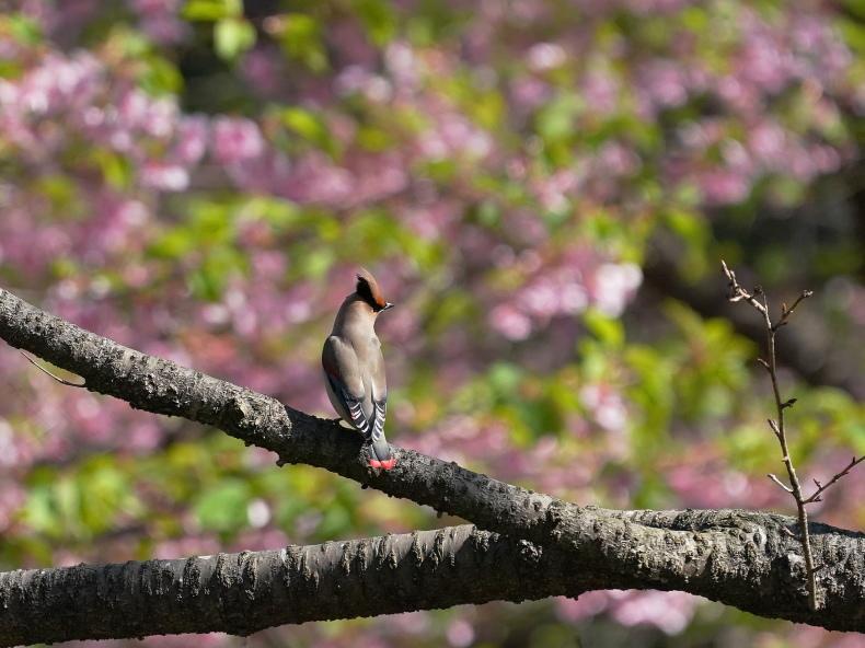 今日の撮って出し!  河津桜に間に合ったヒレンジャク  SND - シエロの野鳥観察記録