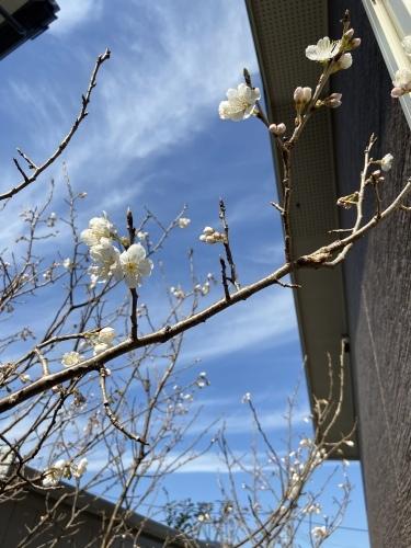 桜の花が咲きました🌸🌸🌸_b0346442_17145827.jpeg