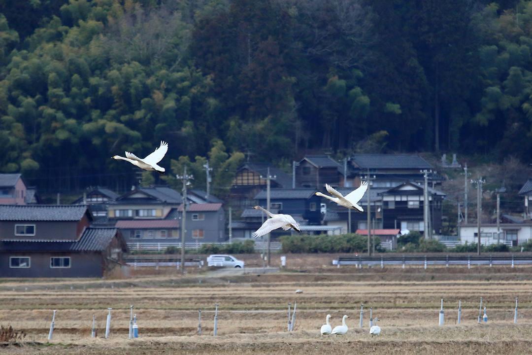 白鳥 2/24_e0403850_22061403.jpg