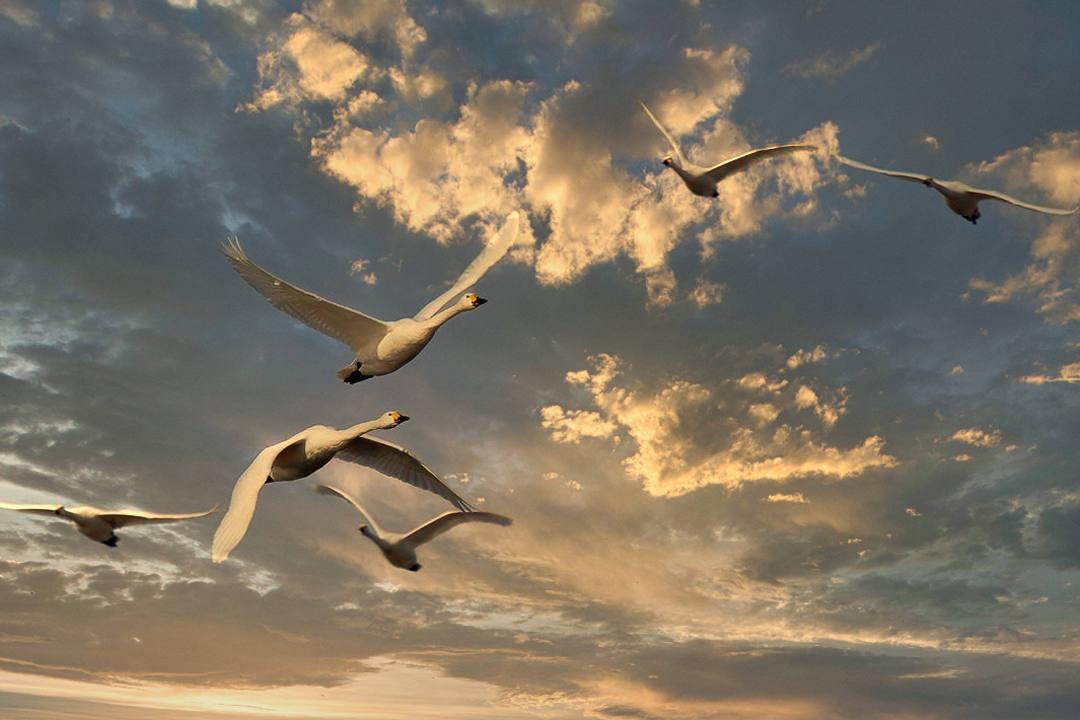 白鳥 2/24_e0403850_22061912.jpg