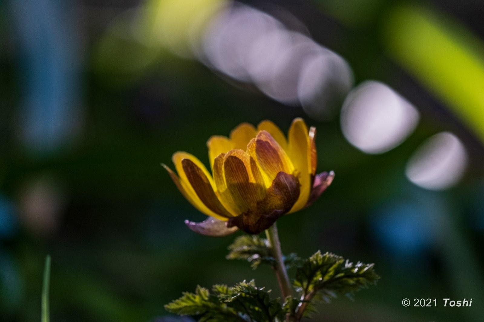 福寿草の季節_c0350572_18172114.jpg