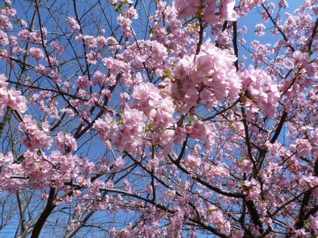 河津桜が満開_c0286885_13430765.jpg