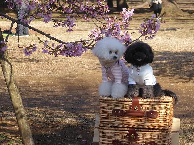 河津桜を見に行ったのに♪ ワンちゃんばかり見ていた代々木公園の春♪_b0287088_22081609.jpg