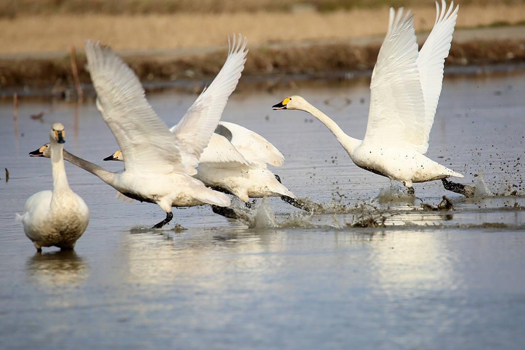 白鳥 2/25_e0403850_23052652.jpg