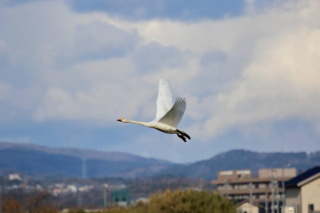 白鳥 2/25_e0403850_23060518.jpg