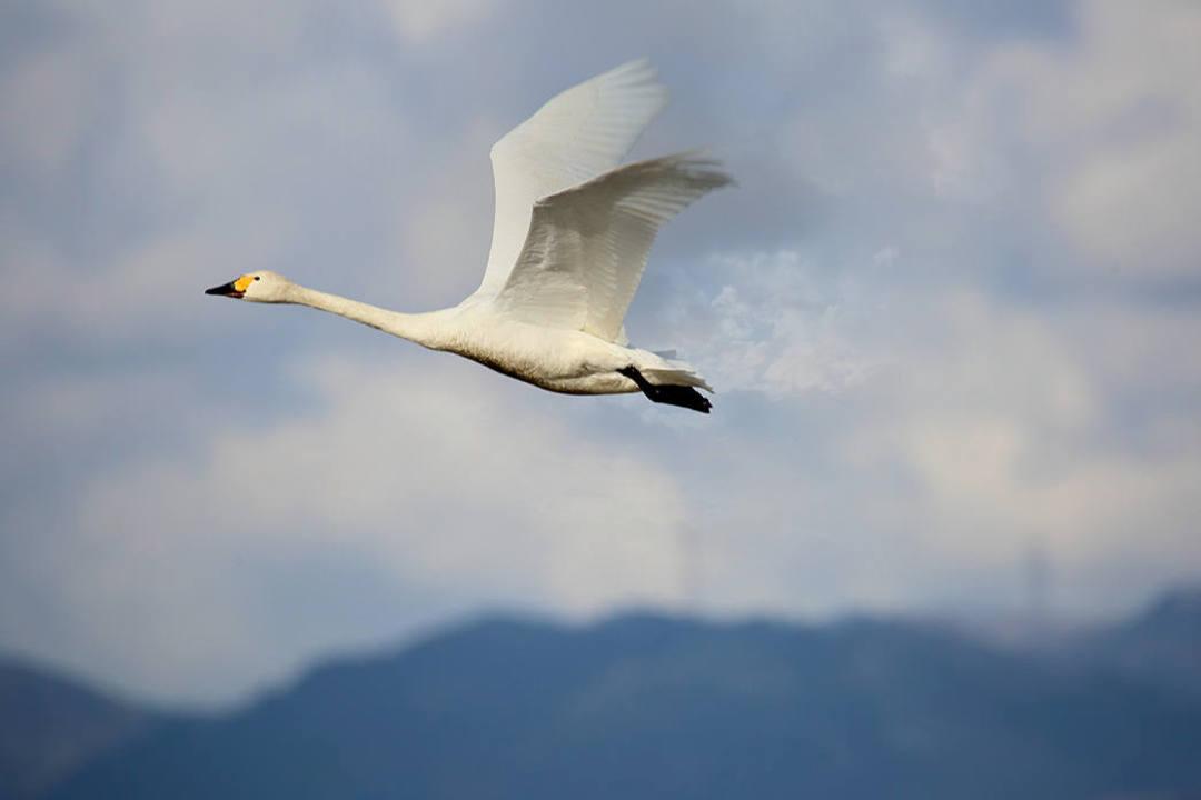 白鳥 2/25_e0403850_23060936.jpg