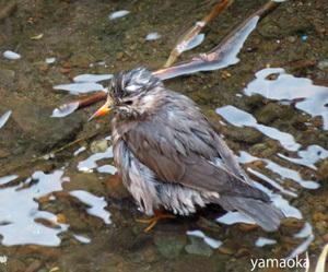 人われを椋鳥と呼ぶ、、、_f0071480_19071867.jpg