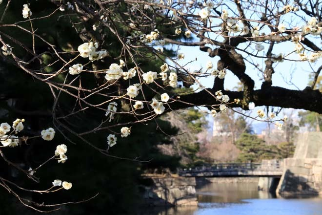 白梅が咲き揃った 二条城_e0048413_18050785.jpg