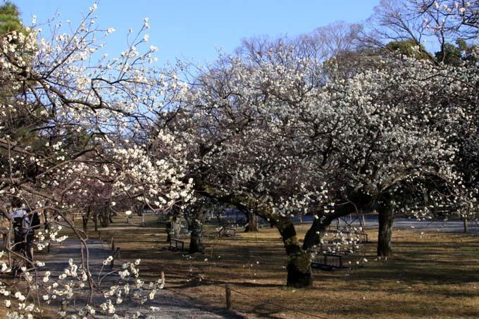白梅が咲き揃った 二条城_e0048413_18051494.jpg