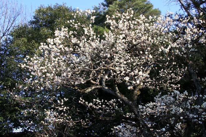 白梅が咲き揃った 二条城_e0048413_18052153.jpg