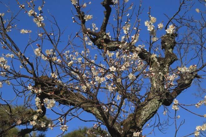 白梅が咲き揃った 二条城_e0048413_18052712.jpg
