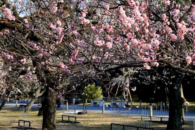 白梅が咲き揃った 二条城_e0048413_18053449.jpg