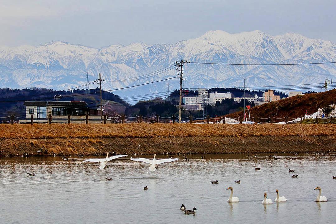 雪山と白鳥_e0403850_23421636.jpg