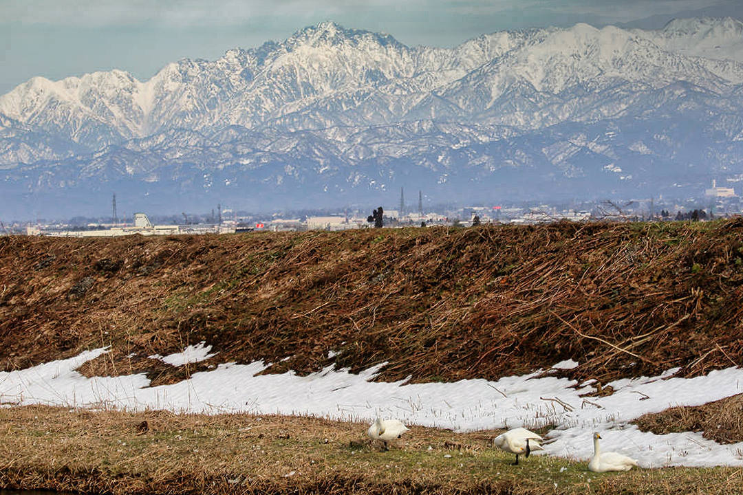 雪山と白鳥_e0403850_23422544.jpg