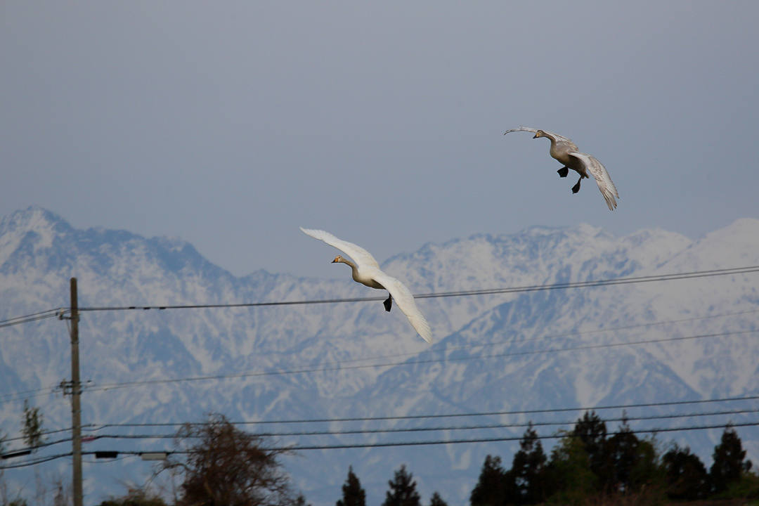 雪山と白鳥_e0403850_23440460.jpg