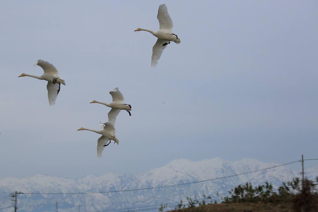 雪山と白鳥_e0403850_23440932.jpg