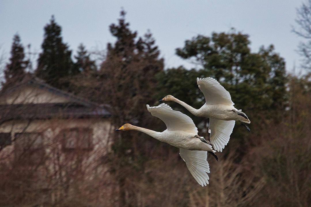 田尻池のオオハクチョウ_e0403850_21430541.jpg
