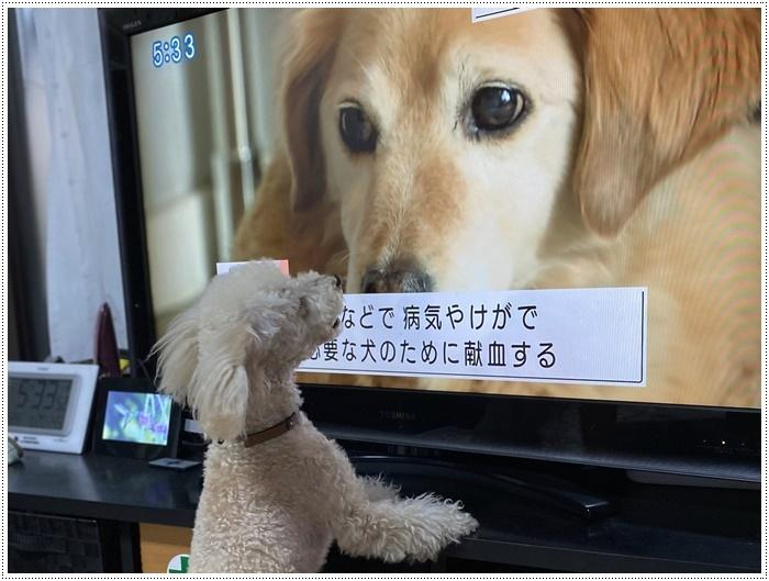 大と一緒に、供血犬のニュースを見たよ。_b0175688_19374463.jpg