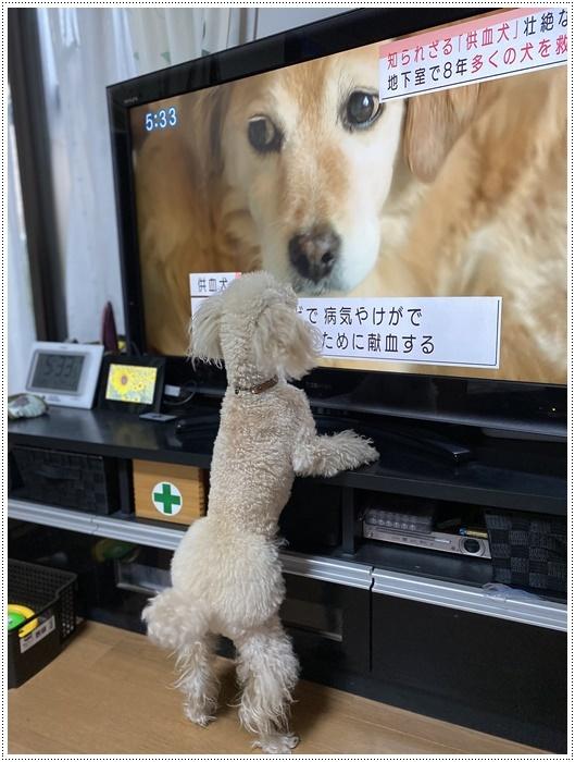 大と一緒に、供血犬のニュースを見たよ。_b0175688_19375430.jpg