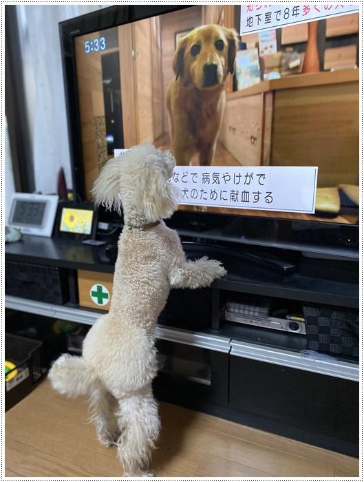 大と一緒に、供血犬のニュースを見たよ。_b0175688_19380566.jpg