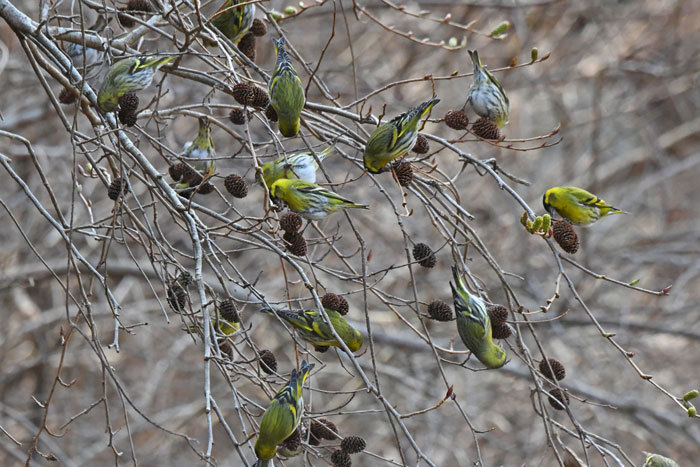 林道の鳥さん♪ <真鶸>_e0248688_18382771.jpg