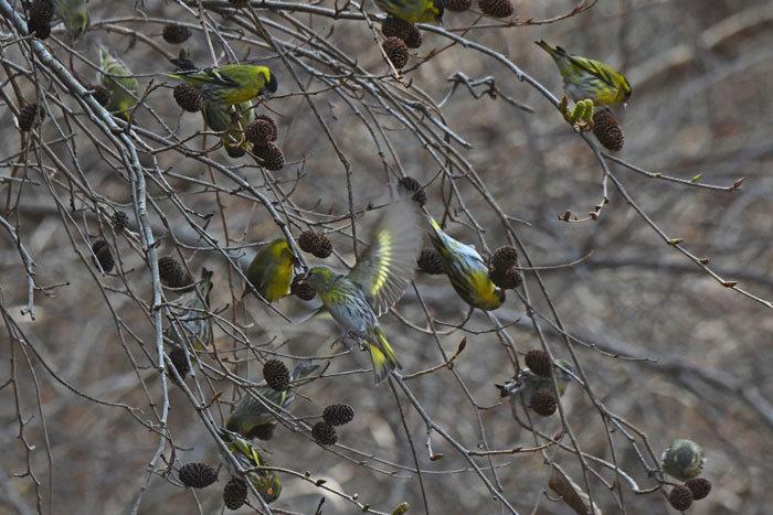 林道の鳥さん♪ <真鶸>_e0248688_18384172.jpg