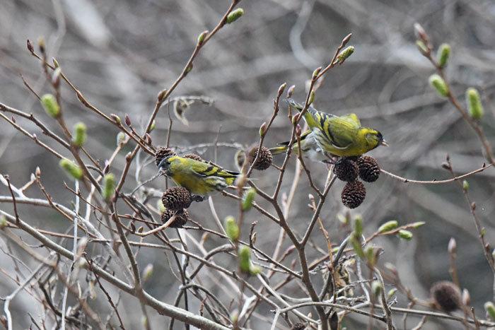 林道の鳥さん♪ <真鶸>_e0248688_18391212.jpg