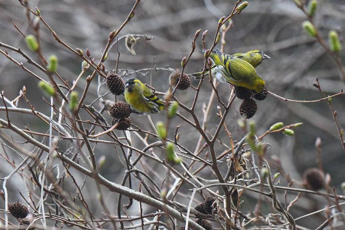 林道の鳥さん♪ <真鶸>_e0248688_18392134.jpg