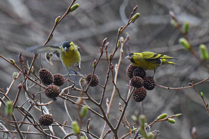 林道の鳥さん♪ <真鶸>_e0248688_18394075.jpg