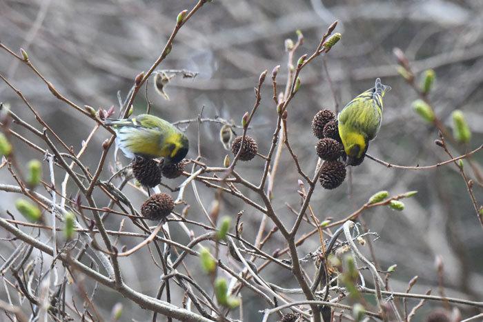 林道の鳥さん♪ <真鶸>_e0248688_18395838.jpg