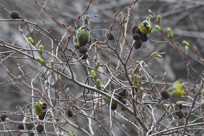 林道の鳥さん♪ <真鶸>_e0248688_18400971.jpg