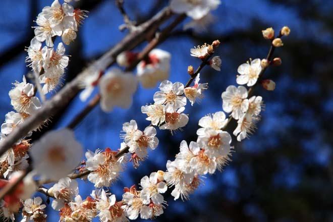 梅花の盛り 北野天満宮2_e0048413_21591806.jpg