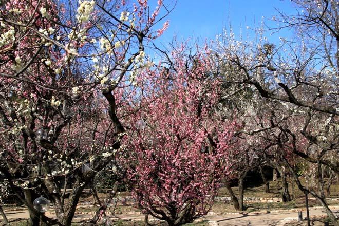 梅花の盛り 北野天満宮2_e0048413_22105521.jpg