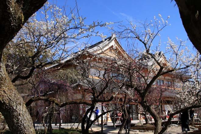 梅花の盛り 北野天満宮2_e0048413_22112519.jpg