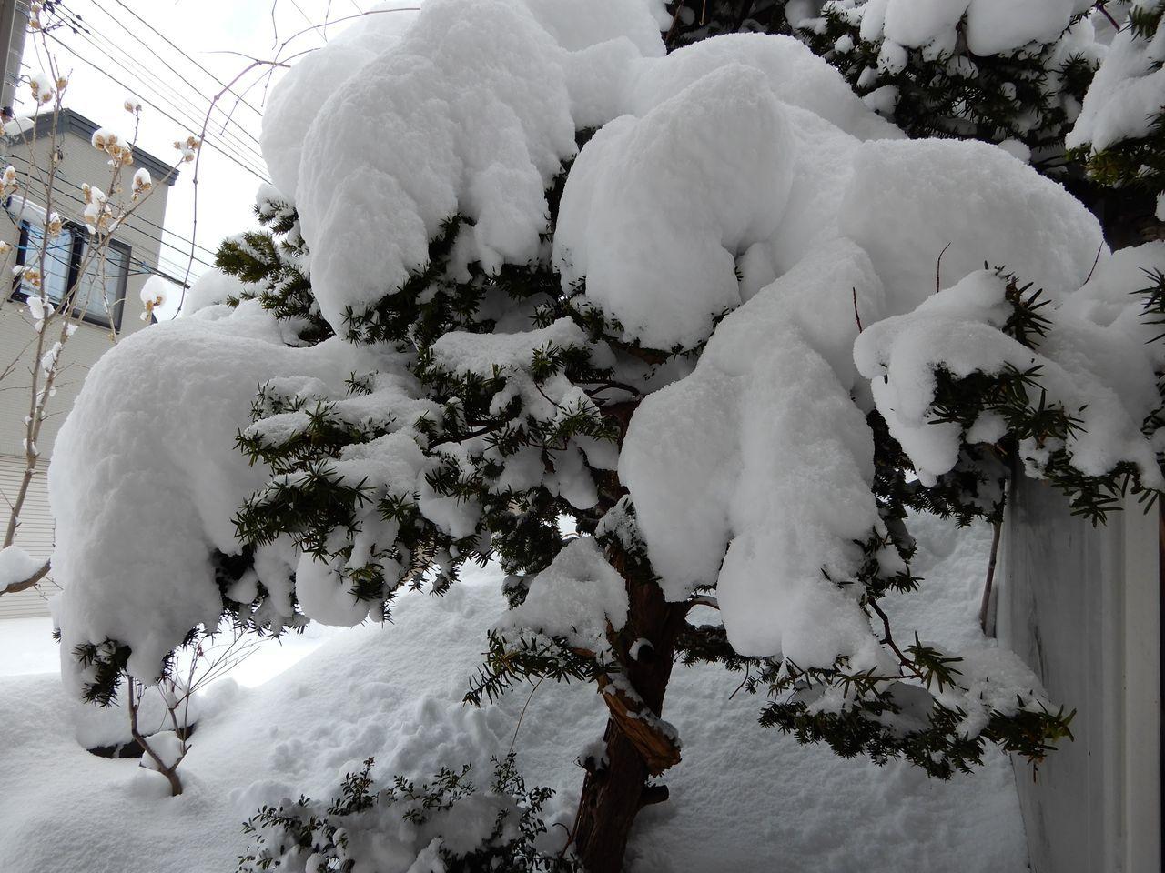 昨日の昼から降った雪は30センチほど積りました_c0025115_20564452.jpg