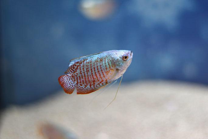 アクアパーク品川:WINTER COLOR STREET②~ネオンドワーフグラミーとキラキラな魚たち_b0355317_20530638.jpg