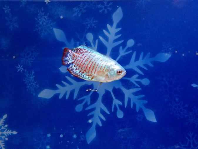 アクアパーク品川:WINTER COLOR STREET②~ネオンドワーフグラミーとキラキラな魚たち_b0355317_20560811.jpg