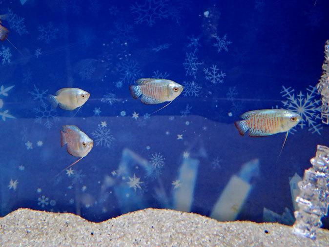 アクアパーク品川:WINTER COLOR STREET②~ネオンドワーフグラミーとキラキラな魚たち_b0355317_20570535.jpg