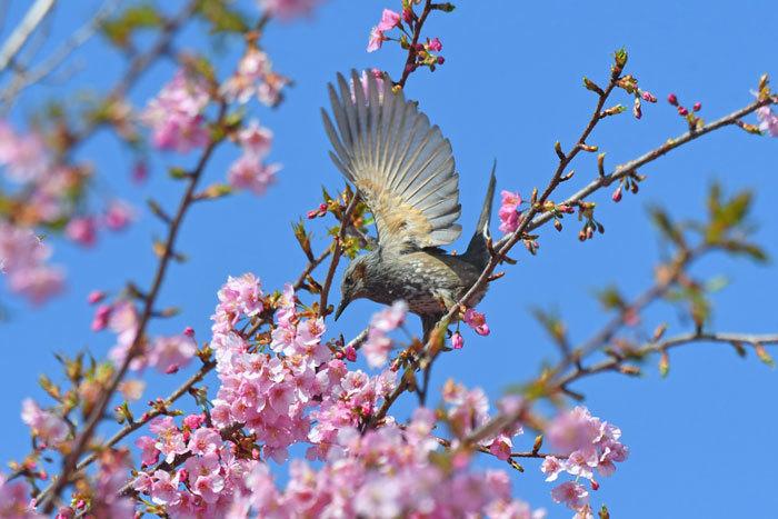 桜お花見♪ <鵯>_e0248688_17545857.jpg
