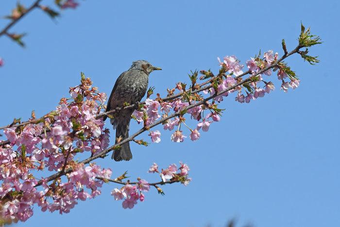 桜お花見♪ <鵯>_e0248688_17551239.jpg