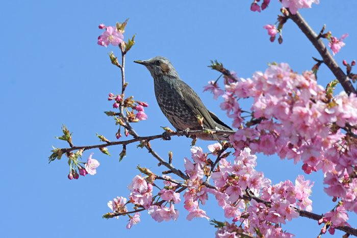 桜お花見♪ <鵯>_e0248688_17553175.jpg