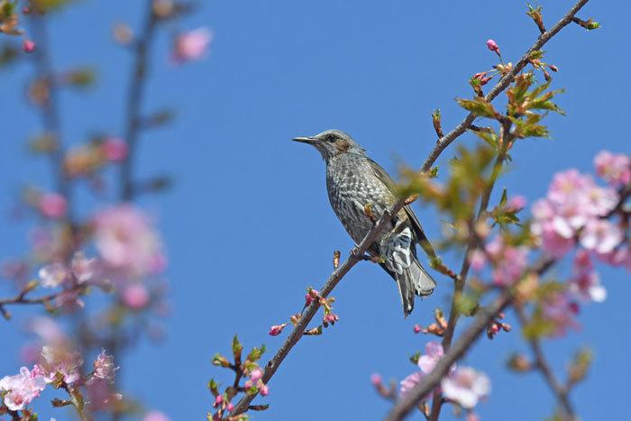 桜お花見♪ <鵯>_e0248688_17554581.jpg