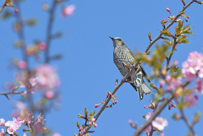 桜お花見♪ <鵯>_e0248688_17555936.jpg