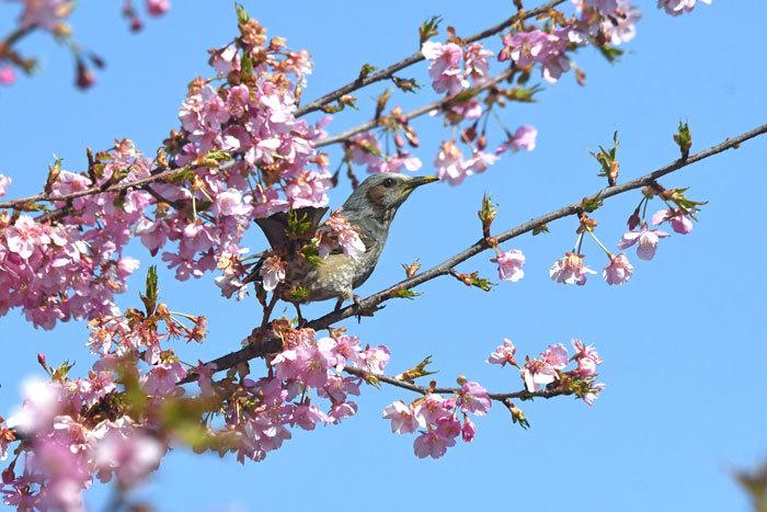 桜お花見♪ <鵯>_e0248688_17561034.jpg