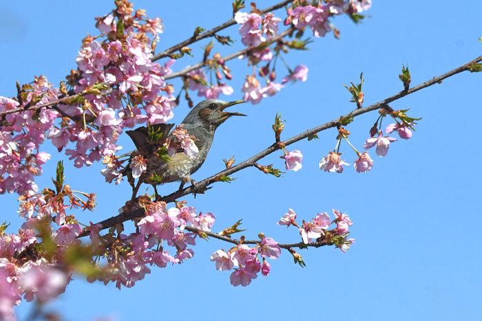 桜お花見♪ <鵯>_e0248688_17562972.jpg