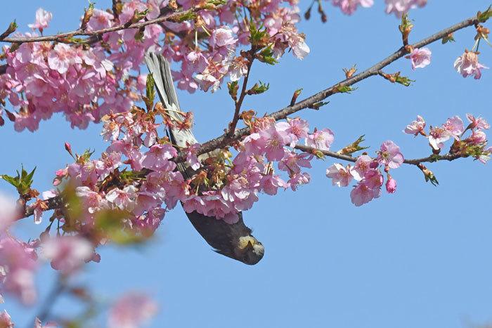 桜お花見♪ <鵯>_e0248688_17564384.jpg
