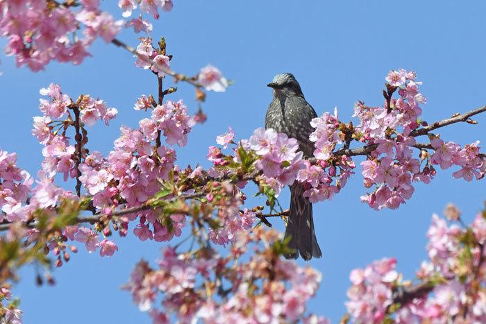 桜お花見♪ <鵯>_e0248688_17565696.jpg