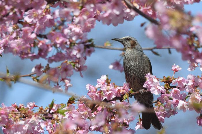 桜お花見♪ <鵯>_e0248688_17570855.jpg