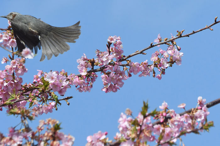 桜お花見♪ <鵯>_e0248688_17572517.jpg